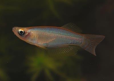 Les killies d 39 afrique chez le vpc oscar le poisson for Poisson vpc